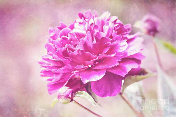 Photograph - Glorious Pink Peony by Anita Pollak