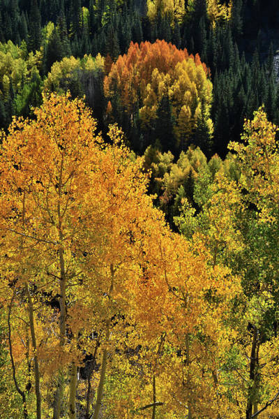Photograph - Glowing Aspens Along Highway 550 by Ray Mathis