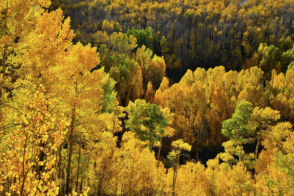 Photograph - Glowing Aspens At Woods Lake State Wildlife Area by Ray Mathis