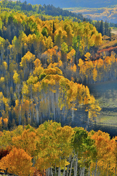Photograph - Glowing Aspens From Wilson Mesa Ranch Road by Ray Mathis