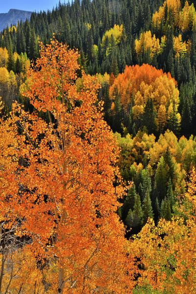 Photograph - Glowing Aspens South Of Molas Pass by Ray Mathis