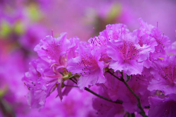 Wall Art - Photograph - Glowing Bloom Of Rhododendron Purple Triumph  by Jenny Rainbow
