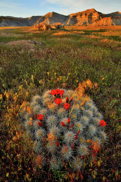 Photograph - Glowing Cacti Bloom In Book Cliffs by Ray Mathis