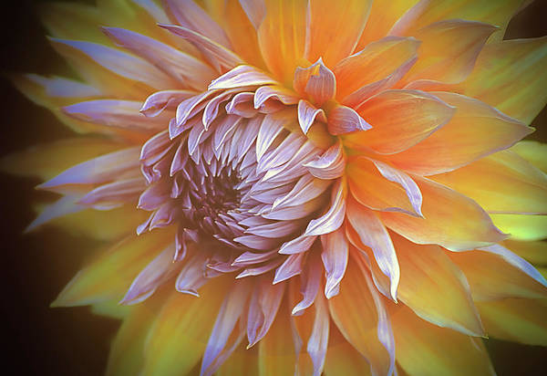 Photograph - Glowing Dahlia by Julie Palencia