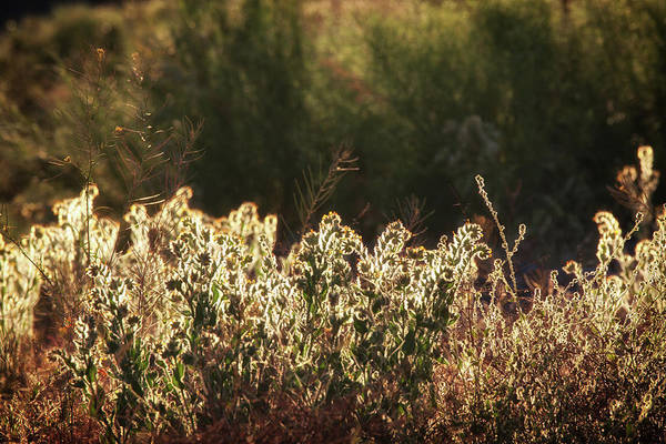 Photograph - Glowing Desert Weeds In Sunlight by Tatiana Travelways