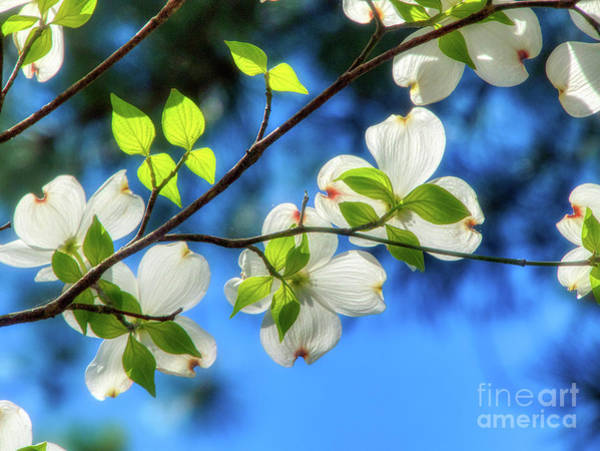 Photograph - Glowing Dogwood Flowers by Amy Dundon