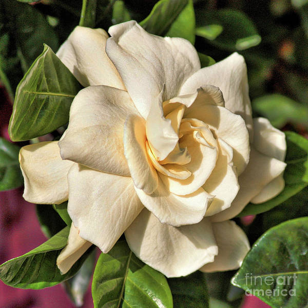 Wall Art - Photograph - Glowing Gardenia by Carol Groenen