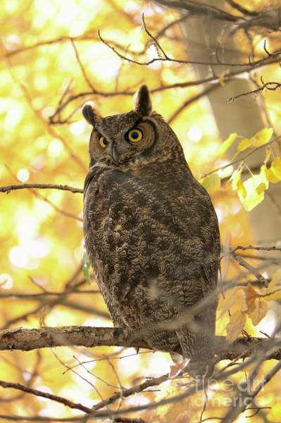 Photograph - Glowing Great Horned Owl In Yellow by Carol Groenen