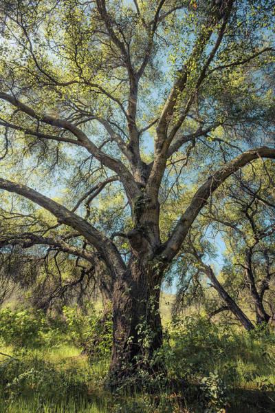 Photograph - Glowing Oak by Alexander Kunz
