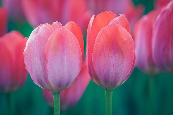 Photograph - Glowing Pink Tulips by Susan Rydberg