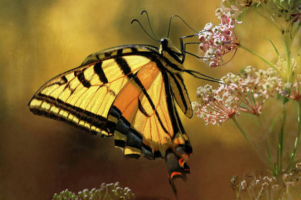 Wall Art - Photograph - Glowing Summer Swallowtail by Donna Kennedy