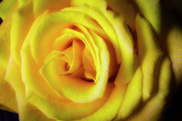 Foilage Photograph - Glowing Yellow Rose by Garry Gay