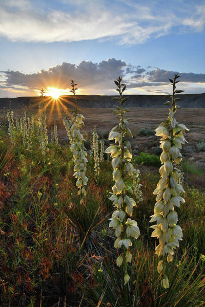 Photograph - Glowing Yuccas At Sunset In Book Cliffs by Ray Mathis