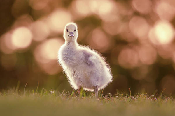 Wildfowl Photograph - Glosling - The Glowing Gosling by Roeselien Raimond
