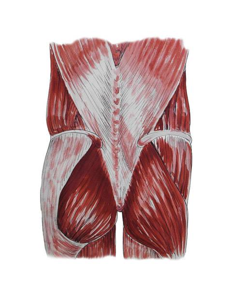 Painting - Gluteus Maximus And Back Anatomy Study by Irina Sztukowski