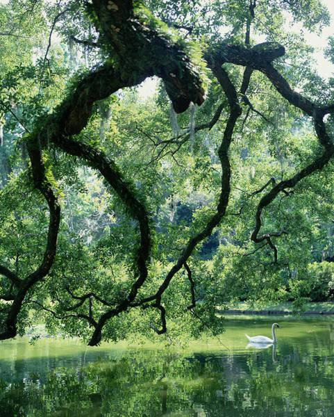 South Carolina Photograph - Gnarled Tree With Swan On Lake by Melanie Acevedo