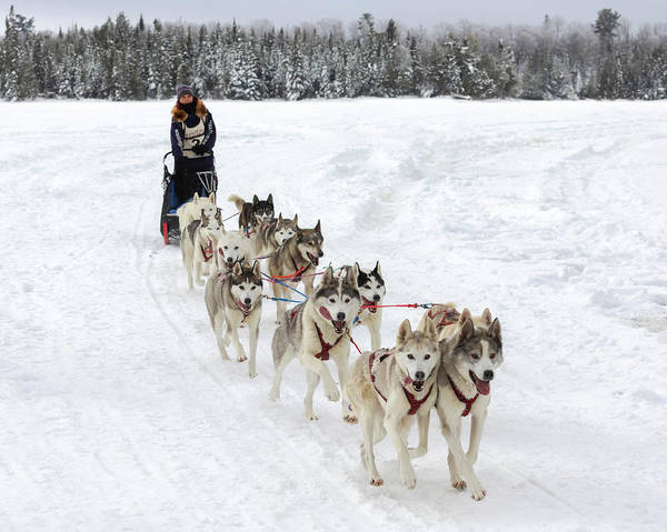 Photograph - Go Huskies by Susan Rissi Tregoning