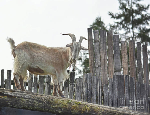 Photograph - Goat On The Roof by Vivian Martin