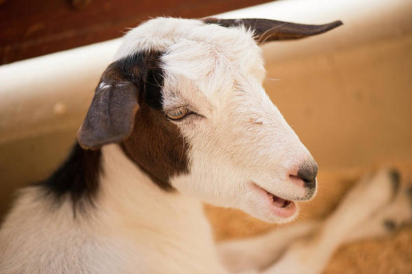 Photograph - Goat Resting Inside The Farm Shed. by Rob D Imagery
