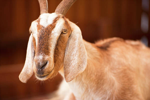 Photograph - Goat by Rob D Imagery