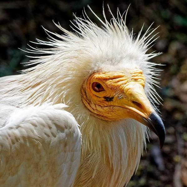 Photograph - Goddess Nekhbet - Egyptian Vulture by KJ Swan