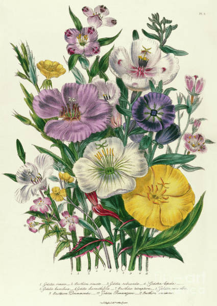 Wild Flowers Drawing - Godetia And Anothera, Plate Viii From The Ladies Flower Garden by Jane Loudon