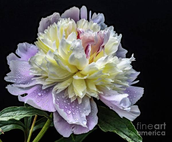 Wall Art - Photograph - God's Perfection In A Festiva Maxima Peony by Cindy Treger