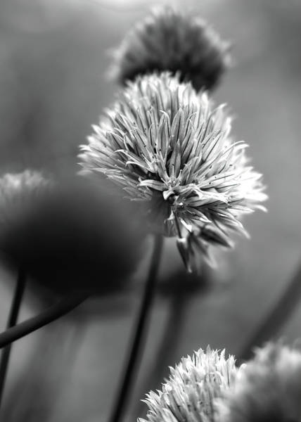 Photograph - Going To Seed by Bob Orsillo