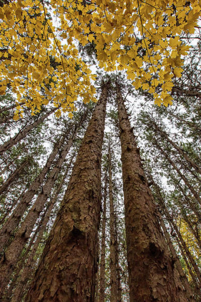 Photograph - Gold Among The Pines 1 by Heather Kenward