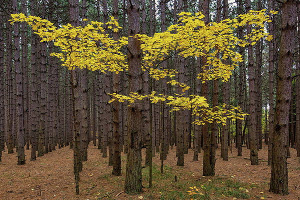 Photograph - Gold Among The Pines 2 by Heather Kenward