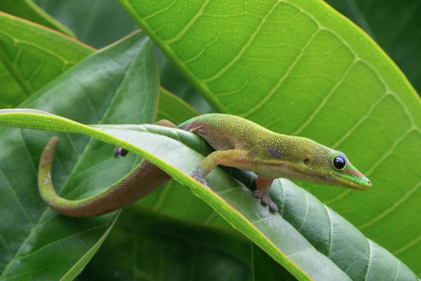 Photograph - Gold Dust Day Gecko by John Daly