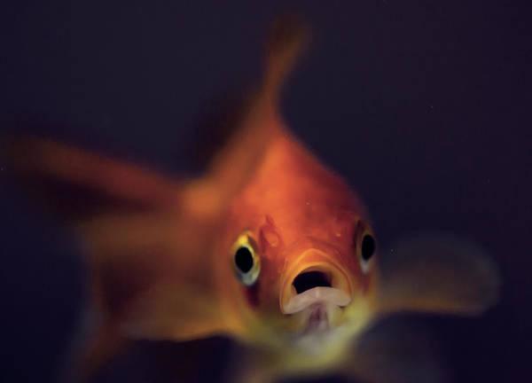 Fish Tank Photograph - Gold Fish by Imagination