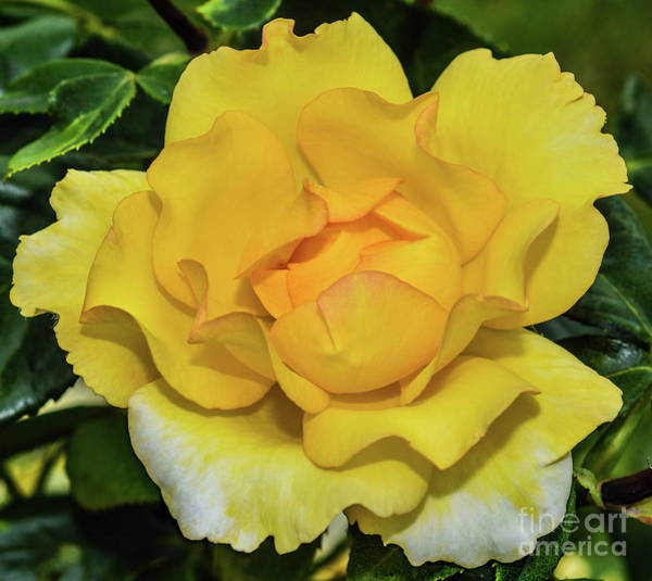 Wall Art - Photograph - Gold Struck Rose With Scalloped Edges by Cindy Treger