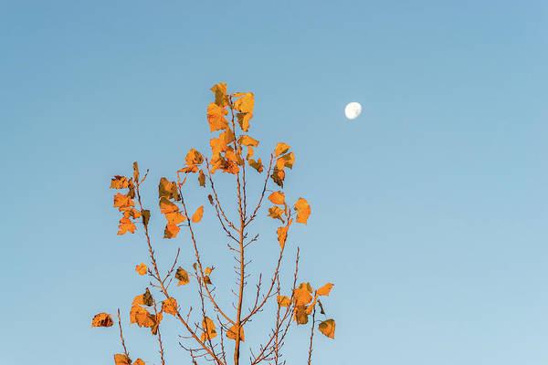 Photograph - Golden Aspen Filigree - Sunrise On One Side Moonset On The Other by Georgia Mizuleva
