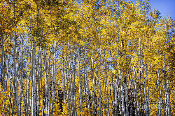 Photograph - Golden Aspen Grove by Lincoln Rogers