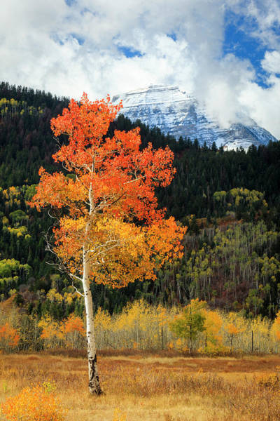 Photograph - Golden Aspen Vertical by Johnny Adolphson