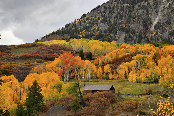 Photograph - Golden Aspens Along Last Dollar Road by Ray Mathis