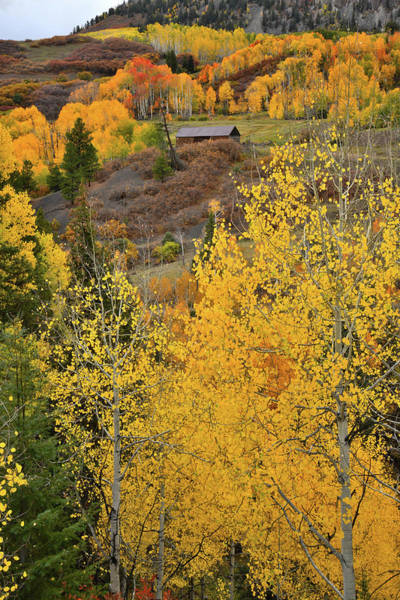 Photograph - Golden Aspens In Colorado High Country by Ray Mathis