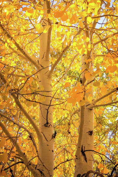Golden Aspens In Grand Canyon, Vertical Art Print
