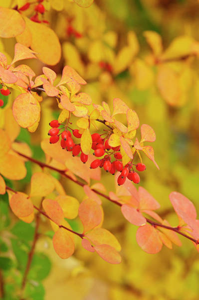 Photograph - Golden Barberry by Garden Gate magazine