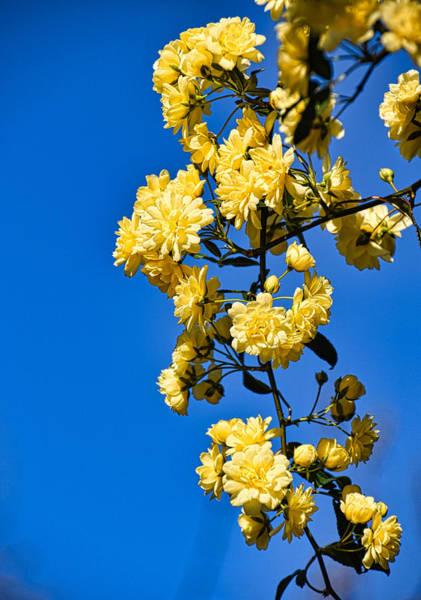 Wall Art - Photograph - Golden Blossoms by Linda Brown