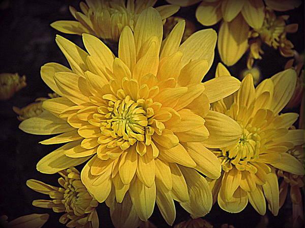 Wall Art - Photograph - Golden Chrysanthemums by Dora Sofia Caputo Photographic Design and Fine Art