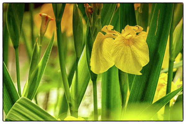 Photograph - Golden Crown by Chris Coffee