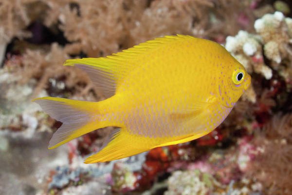 The Philippines Photograph - Golden Damsel Fish On A Tropical Coral by Jeff Hunter