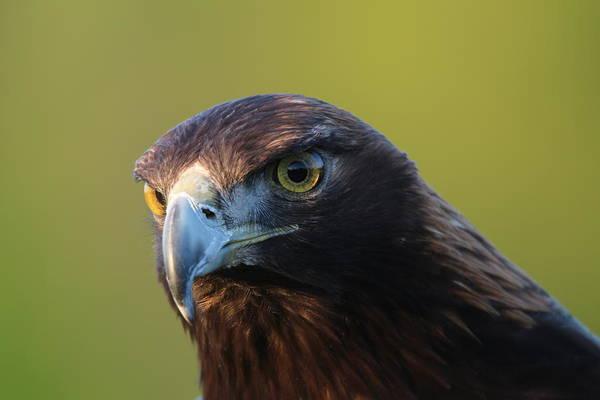 Photograph - Golden Eagle 5151802 by Rick Veldman