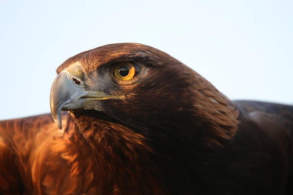 Photograph - Golden Eagle 5151803 by Rick Veldman