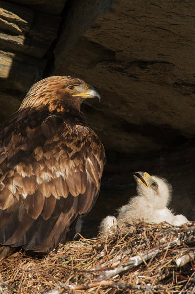 Wall Art - Photograph - Golden Eagle, Chick Begging For Food by Ken Archer