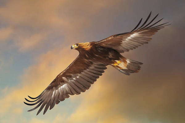 Digital Art - Golden Eagle Flying In Golden Light by Mark Miller