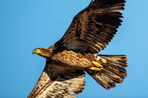 Photograph - Golden Eagle II by Jeff Phillippi