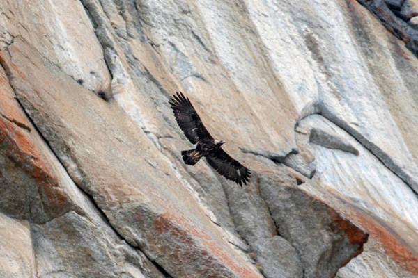 Wall Art - Photograph - Golden Eagle In Flight, Gran Paradiso National Park, Italy by David Pattyn / Naturepl.com